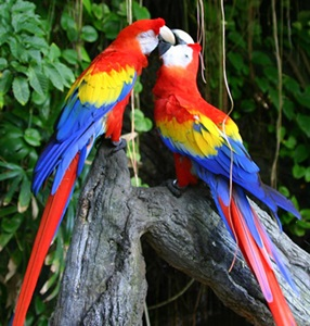 papagali-ara-cusca-spatioasa