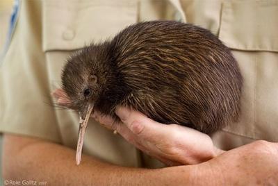 pasare-kiwi-in-mana-carnivora
