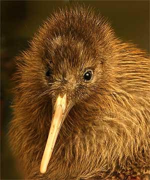 pasarea-kiwi-mamifer-de-onoare