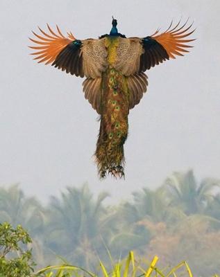 paun-in-zbor-pasare-diurna
