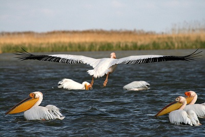 pelicani-albi-colonii
