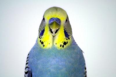 perus-fata-verde