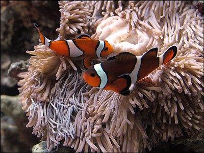 peste-clovn-langa-anemone-acvariu