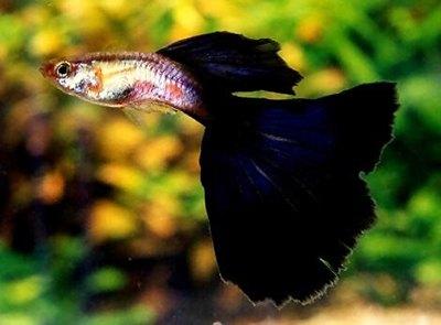 peste-guppy-negru-culoare