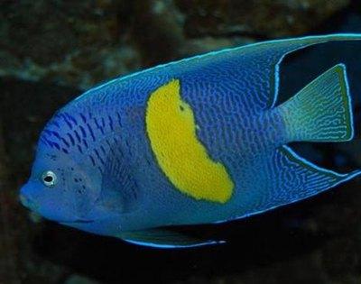 peste-scalar-albastru-salbaticie