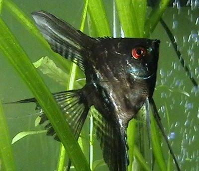peste-scalar-negru-acvariile-mari