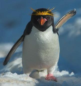 pinguin-macaroni-creasta
