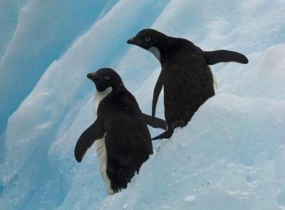 pinguini-adelie-pe-zapada-crevetii