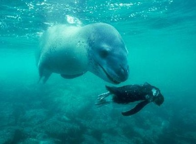 pinguini-adelie-si-foca-reproducere