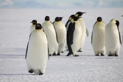 pinguini-imperiali-aptenodytes-forsteri-gheata