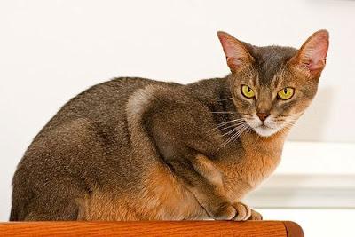 pisica-abisiniana-jucausa