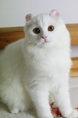 pisica-american-curl-alba-pretentioasa