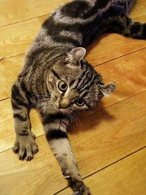 pisica-american-curl-tigrata-origine-si-istoric