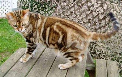pisica-american-shorthair-cardiomiopatia-hipertrofica