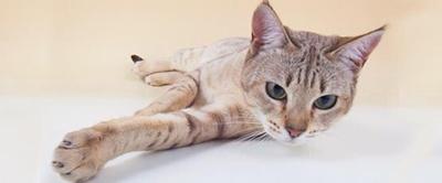 pisica-australian-mist-familie