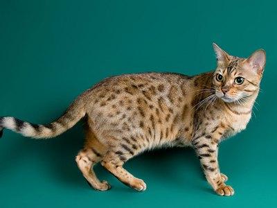 pisica-bengal-periata