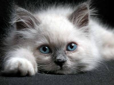 pisica-birmaneza-fata-animal-de-companie