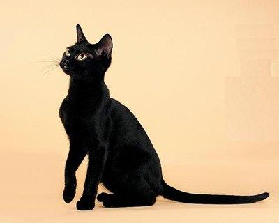 pisica-bombay-profil-apartament