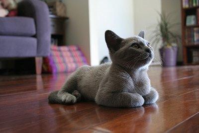 pisica-burmeza-origine-si-istoric