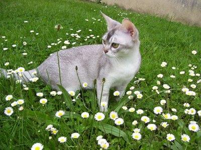 pisica-burmilla-animal-de-companie