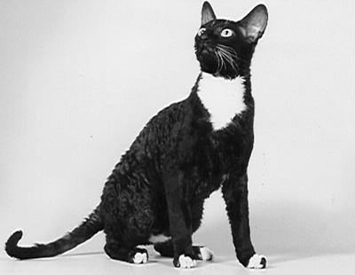 pisica-cornish-rex-casa