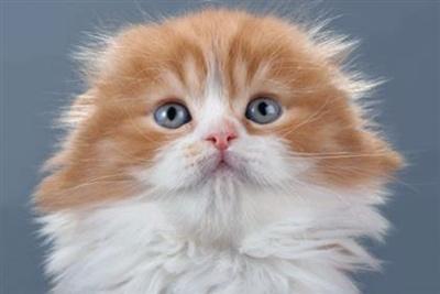 pisica-coupari-docila