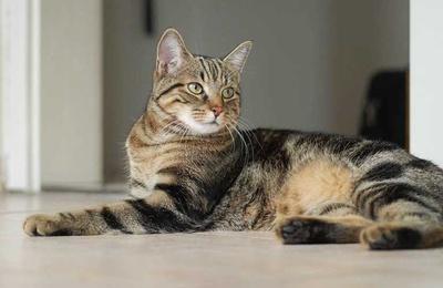 pisica-europeana-animal-carnivor