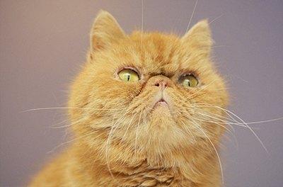 pisica-exotic-tacuta