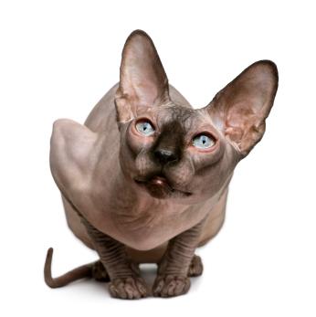 pisica-fara-par-lipsa-parului