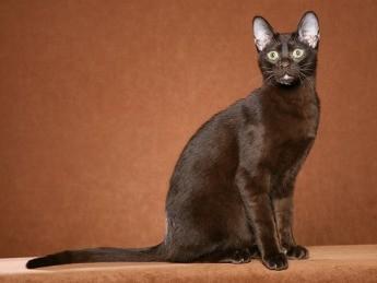 pisica-havana-brown-pisica-hibrid