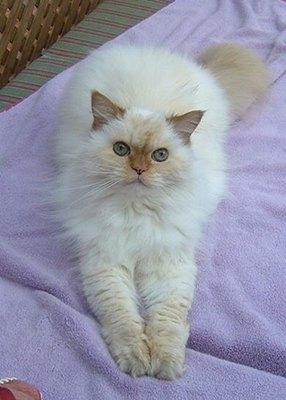 pisica-himalayana-jucausa