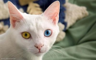 pisica-khaomanee-casa