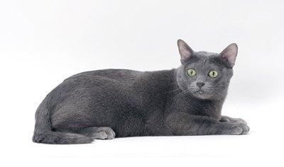 pisica-korat-culcata-casa