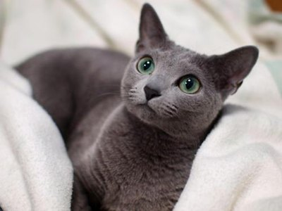 pisica-korat-simbol-al-norocului