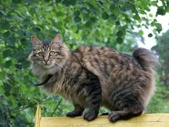 pisica-kurilian-bobtail-excelenta-saritoare