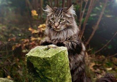 pisica-norvegiana-de-padure-animal-de-companie