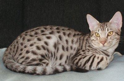pisica-ocicat-apa