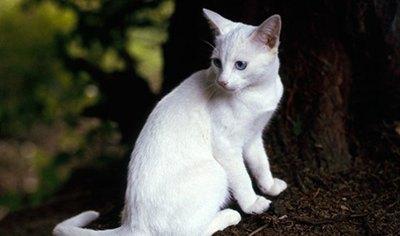 pisica-orientala-alba-origine-si-istoric