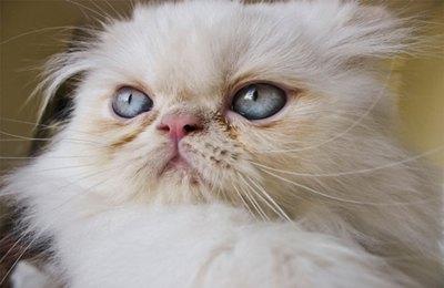 pisica-persana-apartament