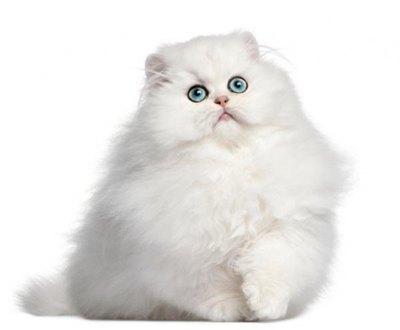 pisica-persana-alba-hrana-uscata