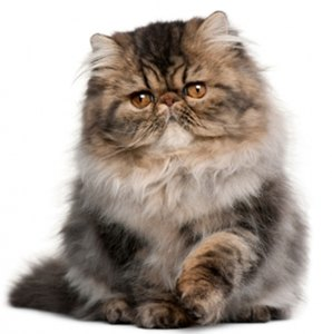pisica-persana-maro-animal-de-companie
