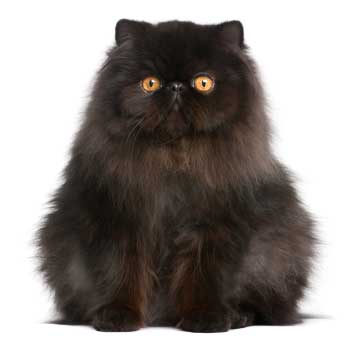 pisica-persana-neagra-origine-si-istoric