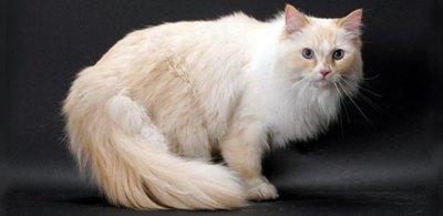 pisica-ragamuffin-pisica-blanda