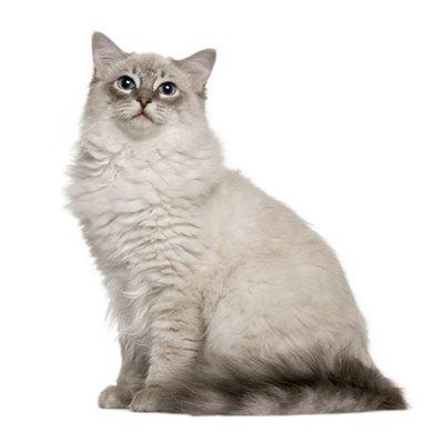 pisica-ragdoll-rasa-controversata