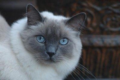 pisica-ragdoll-fata-viata-de-interior