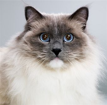 pisica-ragdoll-iubitoare