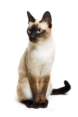 pisica-siameza-din-fata-blana-cenusie