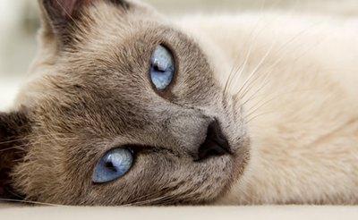 pisica-siameza-fata-ochi-incrucisati