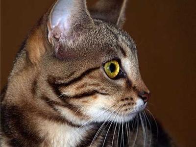 pisica-sokoke-apartament