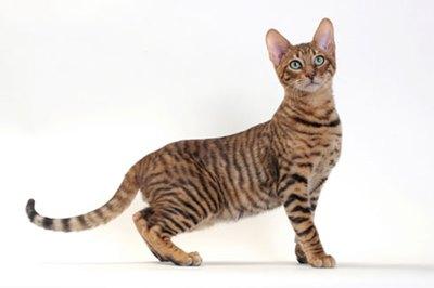 pisica-toyger-mini-tigru